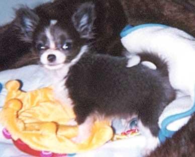 Chihuahua Puppy chihuahuas for sale chihuahua breeder