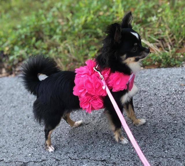Chihuahua Puppy Chihuahuas For