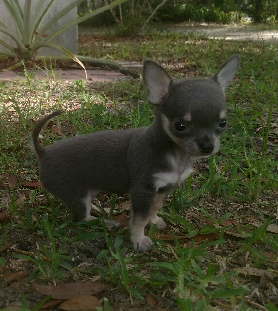 Uey's has - chihuahuas - for YOU!
